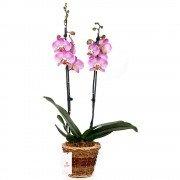 Canasta Marrón con Dos Varas de Orquídeas Phalaenopsis