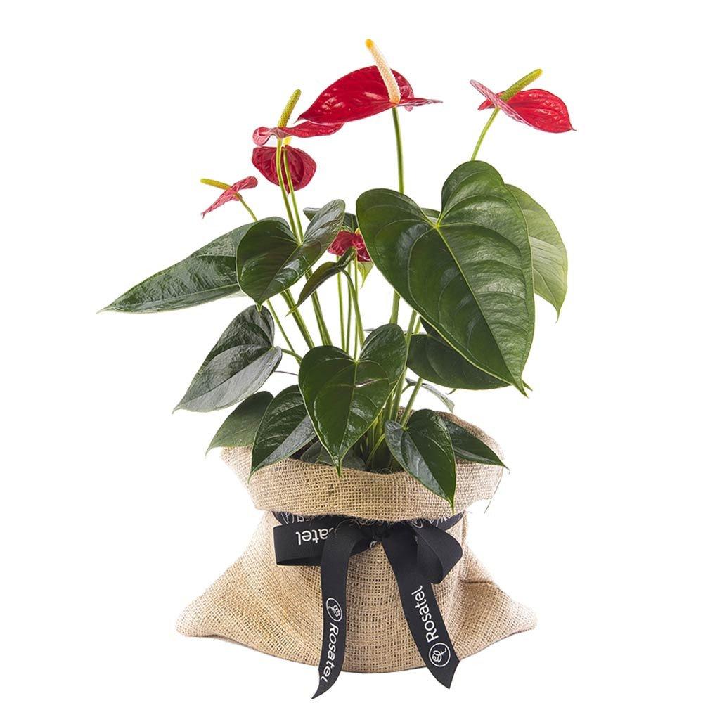 Planta de Anturios Rosatel