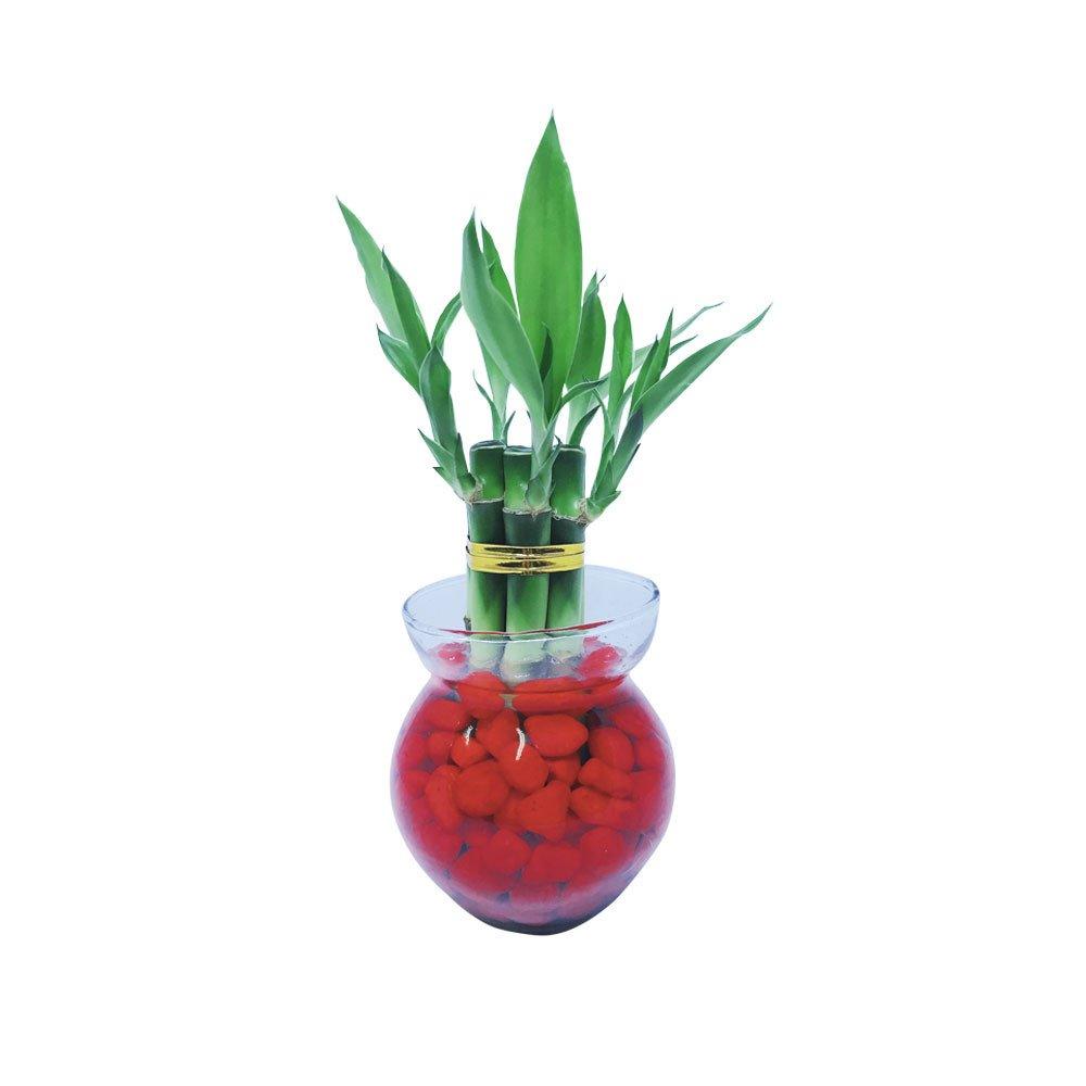 Planta bambú con 7 Varas Rosatel